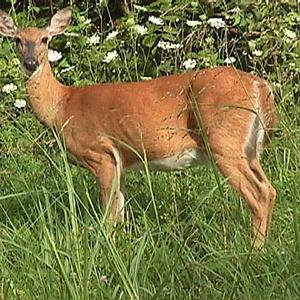 deer.fw